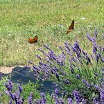Two Monarchs fluttering by.