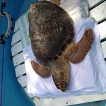 A very sick turtle they got yesterday!