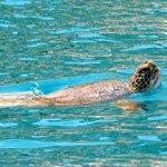Turtle near by Kekova