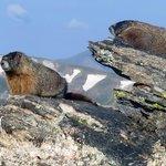 Marmots sunbathing!