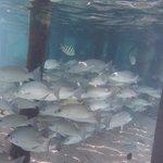 Fish under the pier