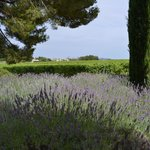 The lavender and the vineyards