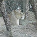 Parc en voiture Lion