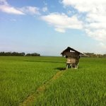 walk through the rice field
