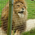 One of the lovely lions- he was hand reared.