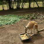 Kangeroo lunch...