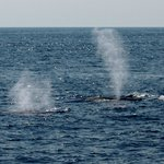 Two whales spouting at same time.
