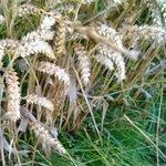 Barley growing near West Kennet Long Barrow