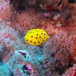 Juvenile Boxfish are awesome!