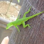 One of the many little lizards on the property