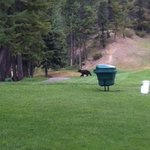 Mama bear chasing after her 3 cubs on hole#15 at Fairmont Mountainside GC.