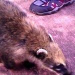 Tem coatis em alguns lugares, não pode tentar se aproximar, pois eles transmitem doenças.