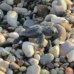 Newborn cutie turtle...