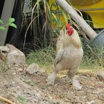 Proud rooster in the village
