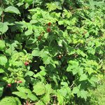 Red raspberry bushes at Stump Sprouts. We harvest some there yearly.