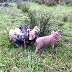 Jeunes porcinets