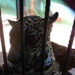 walking up to the older baby Jaguars
