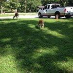 Deer at Big Meadows Campground