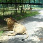A lion blocking our bus