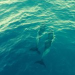 Dolphins at Milthos boat