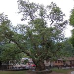 Metsovo big tree