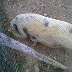 Il maialino della fattoria
