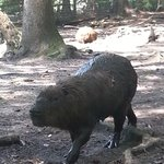 Capybaras who interrupted their swim to come and greet visitors