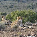 Mummy Cheetah and her adolescent Cubs