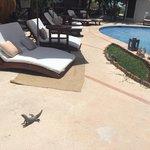 Abundan iguanas sociales