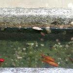 Peces en fuente