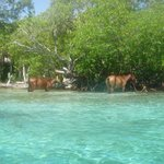 Horses that you ride through the water with a guide