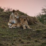Lioness with cub at sunset