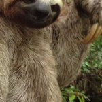 Placid sloth