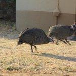 Guinea fowl outside chalets