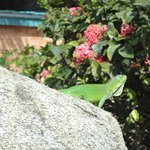 Iguana de todas as cores