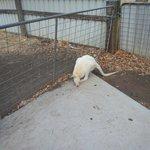 White Kangeroo - very rare