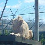 Majestic male white lion