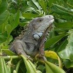 the local iguana