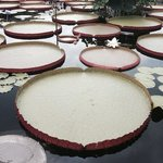 Amazed by the gigantic platters in the pond