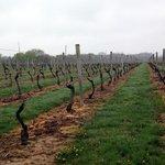 Bedell Cellars - vineyard