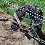 Bedell Cellars - grapevine
