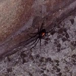 Black widdow spider on balcony