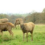 One of the herds of Deer