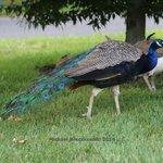 Peacocks ignoring me
