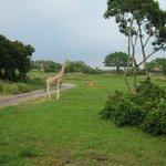 все тот же жираф