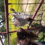 Zebra at park