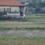 View on rice fields from the room