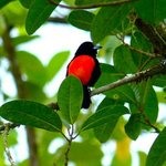 red breasted tanager