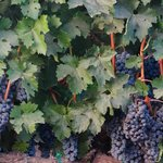 lush grapes