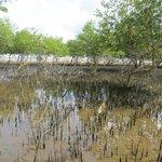 Mangrove pools